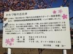 kawazuzakura3.JPG
