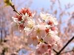 sakura-hanabira.jpg
