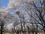 soumagahara-sakura2.jpg